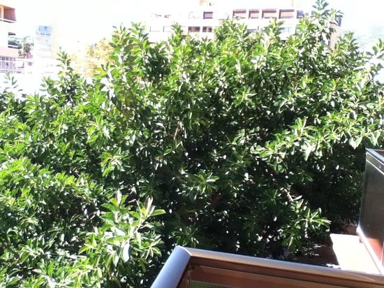 SENTIDO Amaragua: Massive rubber Tree