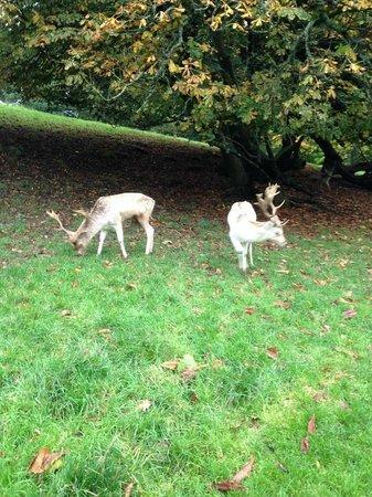 Dyrham Park: Deer