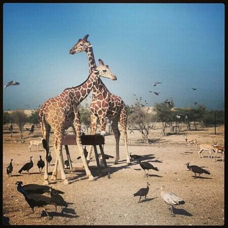 Anantara Sir Bani Yas Island Al Yamm Villa Resort: safari trip