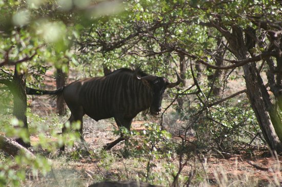 Ekland Safaris: Wildebeest
