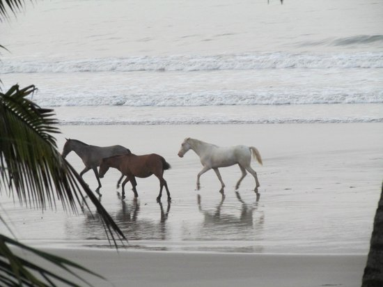 Samara Tree House Inn: The wild horses we watched every morning