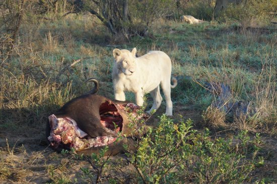 Kambaku Safari Lodge : One of the white lions of the Timbavati.  First sighting in three months and Neil and Albert did