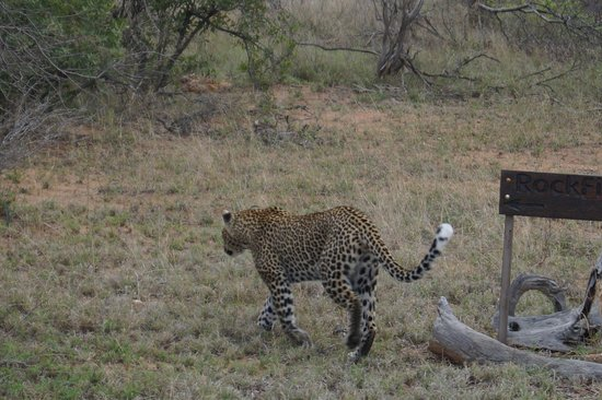 Kambaku Safari Lodge: Leopard tracking impala