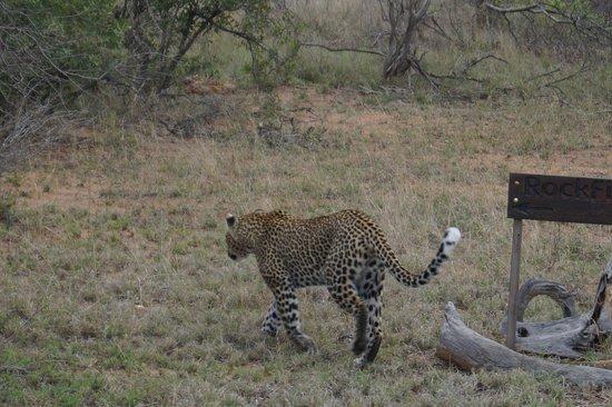 Kambaku Safari Lodge : Leopard tracking impala