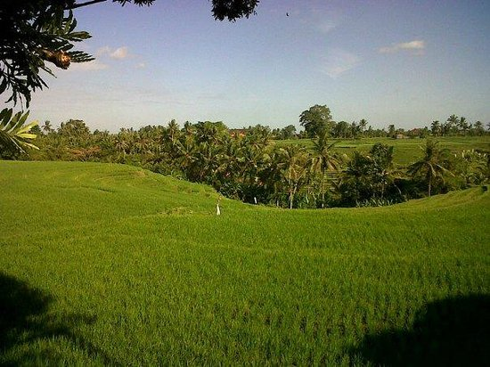Tabanan, Indonesia: wide U-shape of our paddy fields.