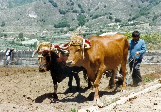 Acueducto del Águila: Hand ploughing with oxen 20 years ago