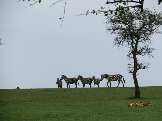 Singita Sabora Tented Camp: Zebra just outside the tent.