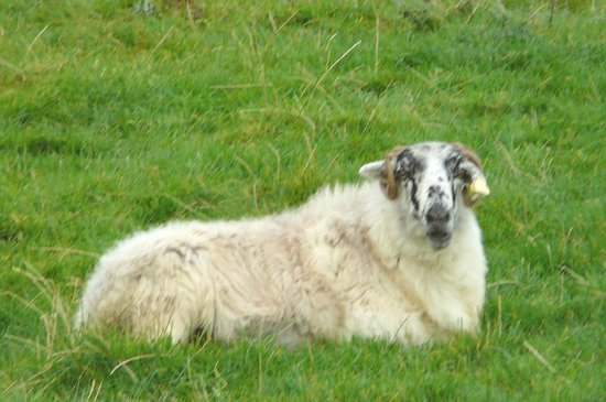 The Dingle Peninsula: Portrait of reclining Sheep