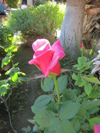 La Maison Hotel: Beautiful roses in the pool area