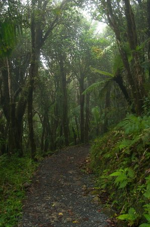 Island Walkers - El Yunque: Cloud forest along the Mt. Britton Trail.