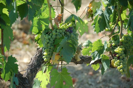 Take Me Out in Tuscany : Vine-ripe
