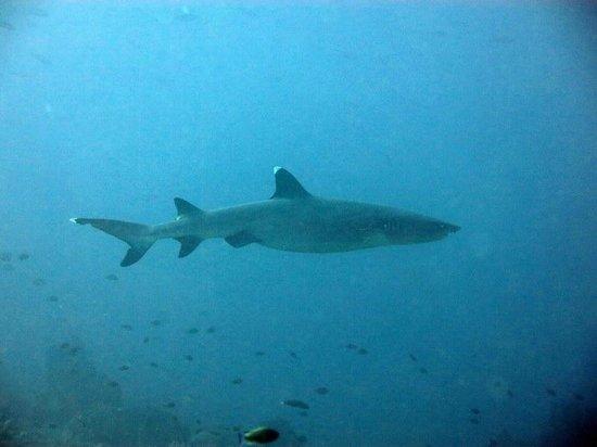 Bajo Dive Club: Whitetip reef shark in Castle Rock
