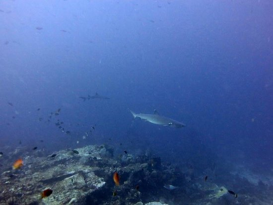 Bajo Dive Club: Sharks and Napoleons
