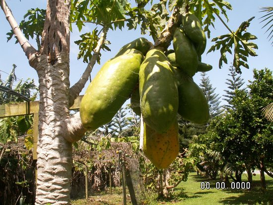 Trade Winds Country Cottages: Pawpaws on the tree