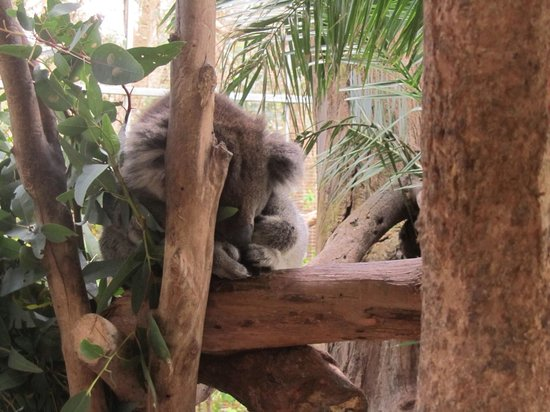Peel Zoo: Sleeping koala