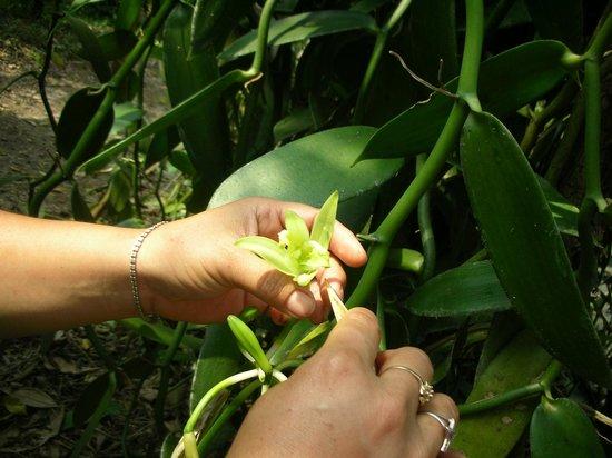 L'Invito Papantla: La vainilla de nuestros postres proviene de esta orquidea