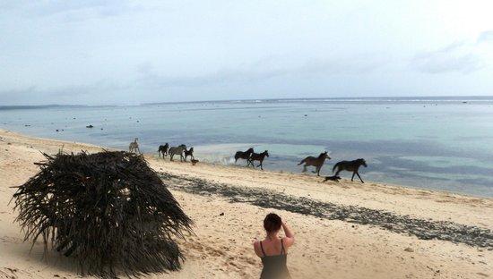 Namuka Bay Lagoon Resort : Wild horses sometimes pass trough late in the evening