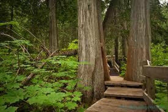 Giant Cedars Boardwalk Trail : 500 year old trees