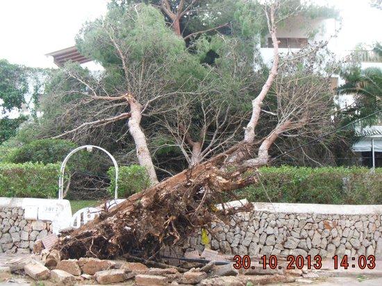Blue Sea Club Martha's: One of the numerous fallen trees