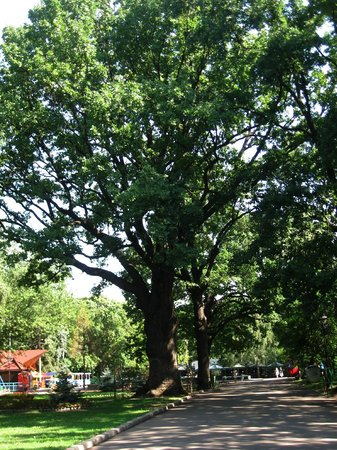 Shevchenko Park: Раскидистые вековые дубы