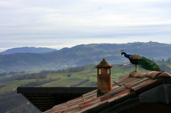 Agriturismo la Borgaccia: il nostro pavone sul tetto