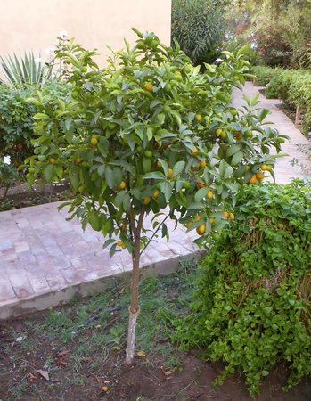 Hotel Dar Zitoune: kumquat tree