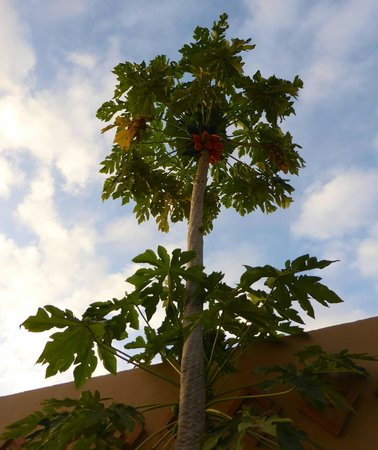Hotel Dar Zitoune: Papaya tree with ripe fruit
