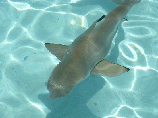 Club Bali Hai Moorea Hotel: Shark in clear blue water