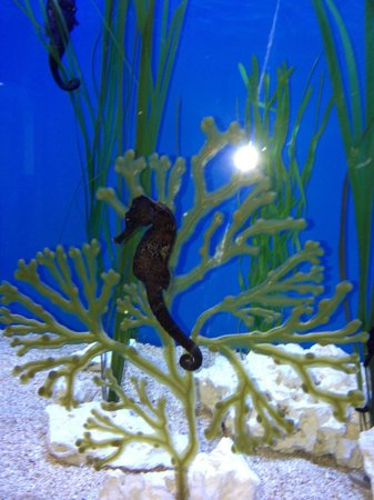 Gulfarium Marine Adventure Park: Sea Horses