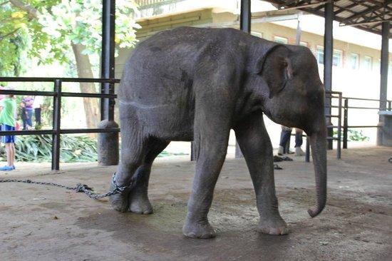 Pinnawala Elephant Orphanage: Elefant