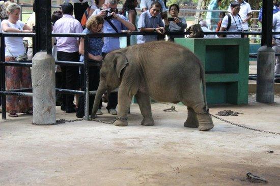 Pinnawala Elephant Orphanage: Babyelefant vor Touristen
