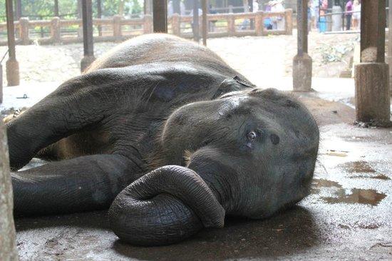 Pinnawala Elephant Orphanage: Elefant mit geringem Bewegungsradius wälzt sich auf dem Boden