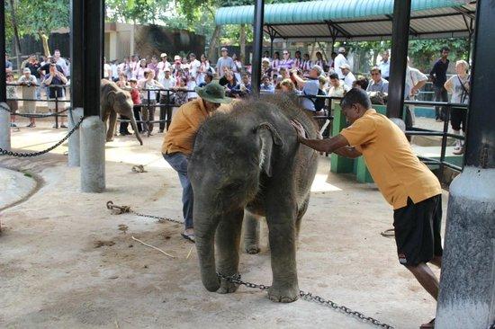 Pinnawala Elephant Orphanage: Pfleger versuchen einen Babyelefanten zu Bewegen