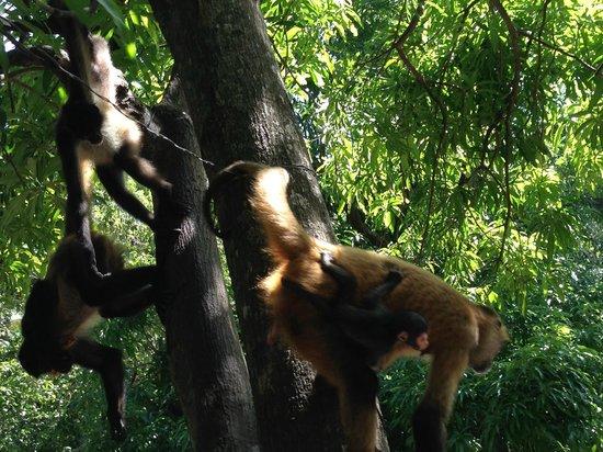 Puerto Barillas Marina & Lodge: Zona de monos