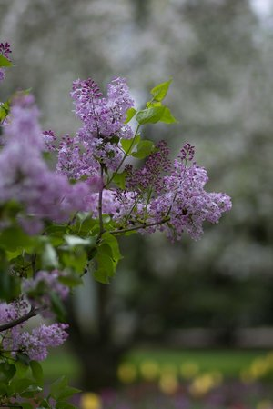 Lilacia Park : beautiful lilacs