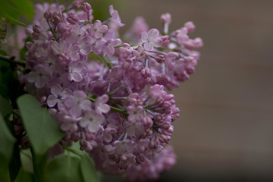 Lilacia Park : beautiful lilacs