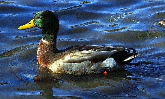 Congress Park: A Happy Duck