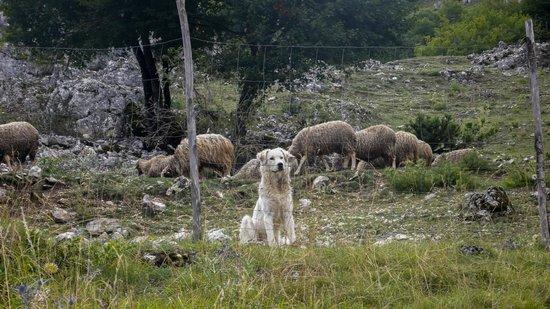 Il magnifico pastore abruzzese, presenza silenziosa al Peschio Pizzuto