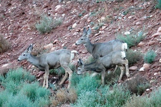 La Quinta Inn & Suites at Zion Park / Springdale: Mule Deer