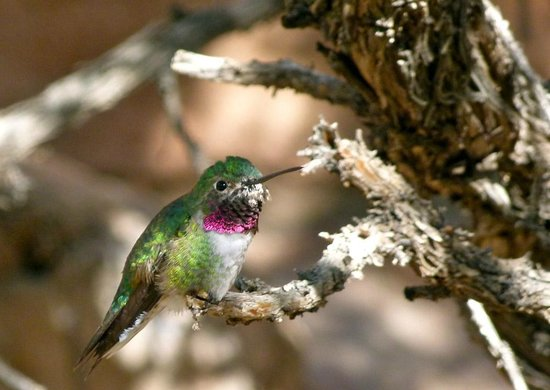 The Casitas at Smokey Springs Ranch : Anna's Hummingbird