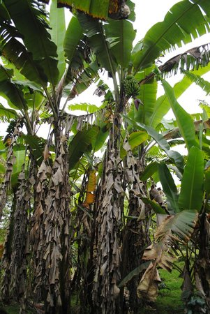 Semilla Verde Boutique Hotel : Banana trees on the property