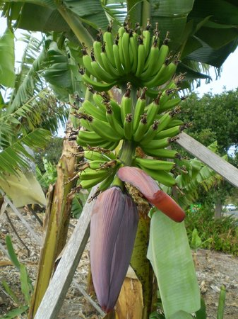 Bananas Growing Picture Of The Big Banana Coffs Harbour