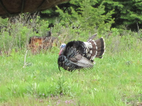 Log Spirit Bed and Breakfast: Tom the turkey showing off