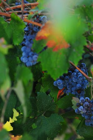 Ancora del Chianti Eco BB & Art Retreat in Tuscany : Sangiovese grapes almost ready for harvest