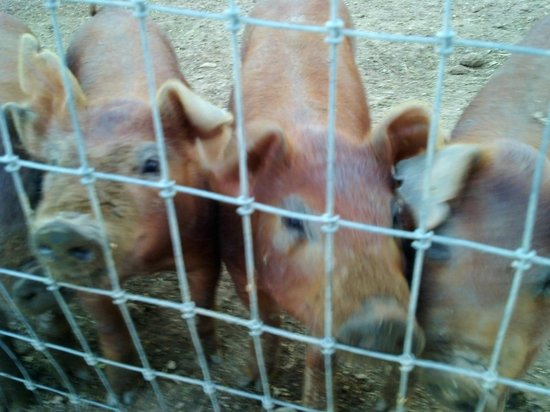 Los Poblanos Historic Inn & Organic Farm: Piggies