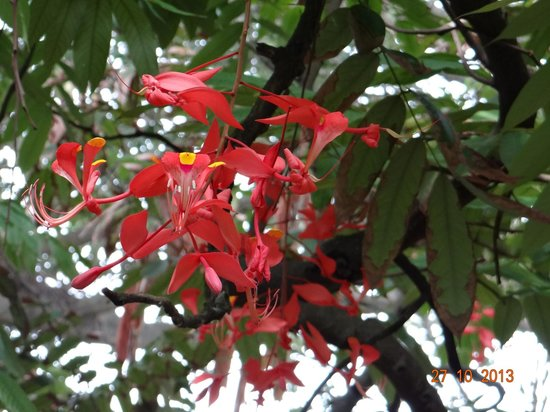 Bangalore Walks: The Pride of Burma - an exceptionally rare flowering tree - Lal Bagh Walk