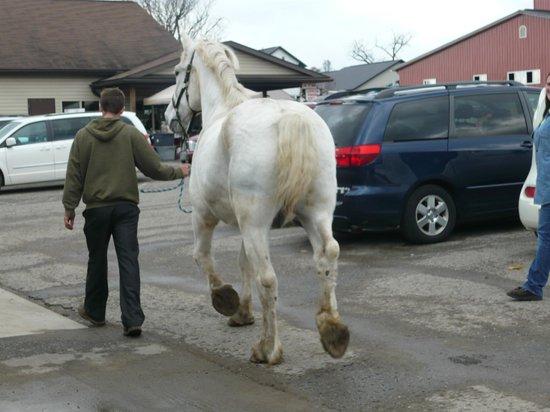 Hershberger Farm & Bakery: Draft horse being walked