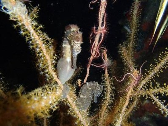 Sogod Bay Scuba Resort: Sea Horses