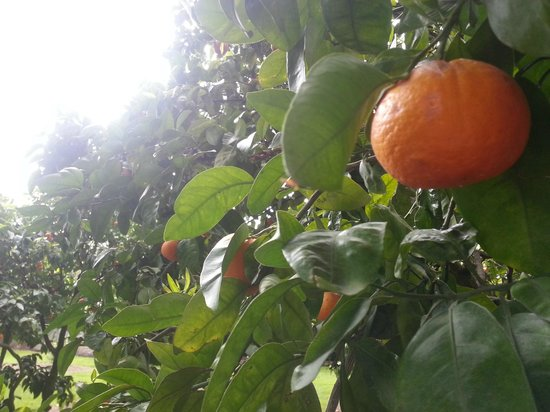 Oak Lane Lodge : The orange grove (actually tangelos, but who's counting?)