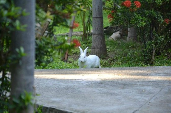 Lamai Inn 99: кролик